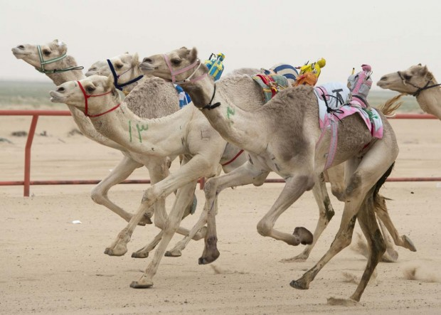 Camels ridden by robot jockeys compete during a weekly camel race at the Kuwait Camel Racing club in Kebd January 26, 2013. The robots are controlled by trainers, who follow in their vehicles around the track. REUTERS/Stephanie McGehee (KUWAIT - Tags: SPORT SOCIETY TRAVEL ANIMALS TPX IMAGES OF THE DAY) ORG XMIT: KUW01